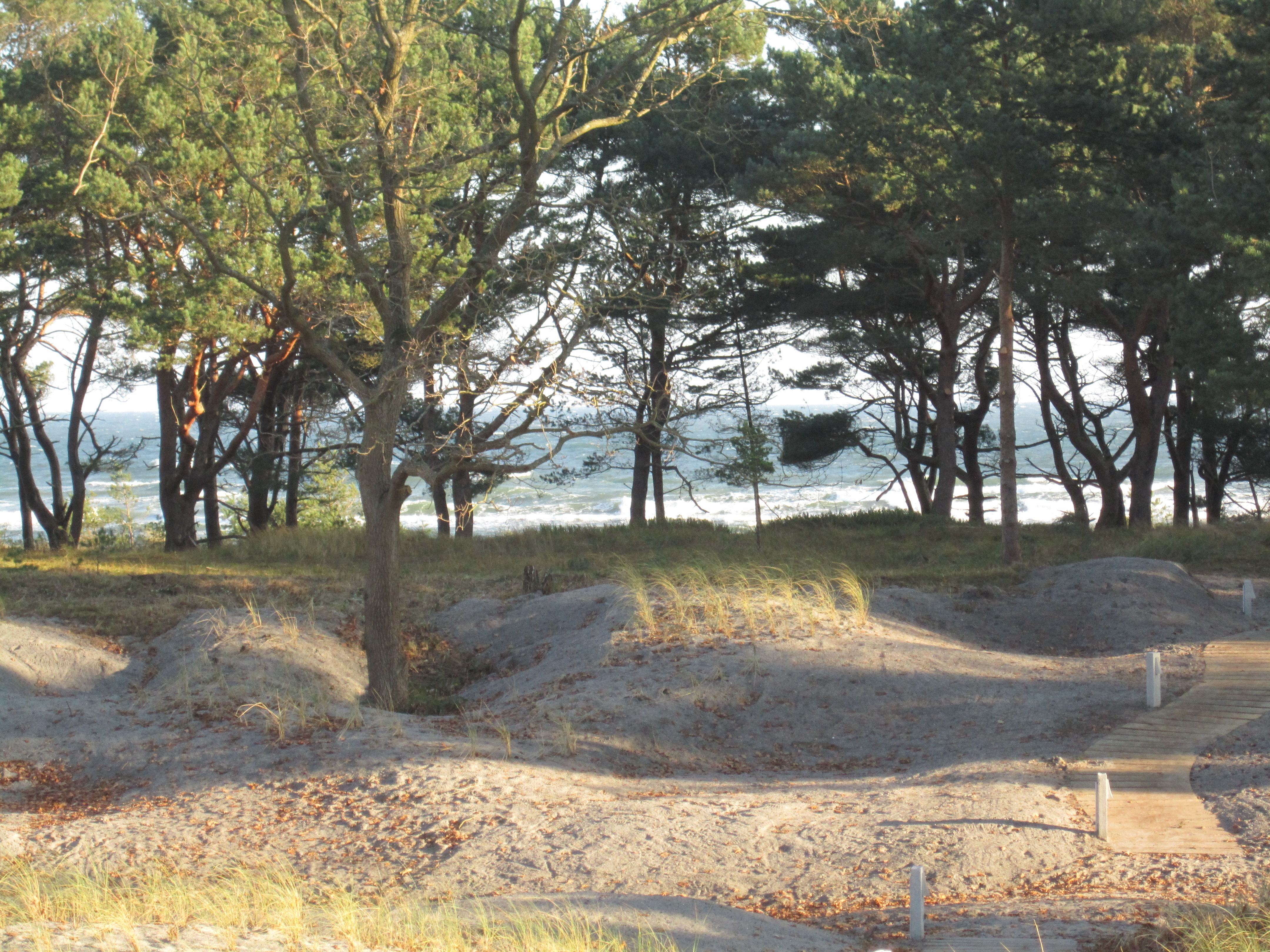 Dünenwald mit Meerblick